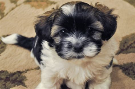 average price havanese puppy image gallery havanese puppies