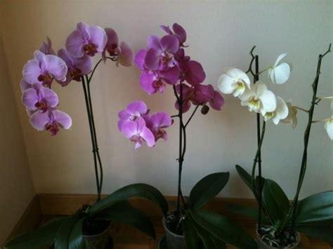 come curare le orchidee in appartamento come curare le orchidee piante appartamento curare le