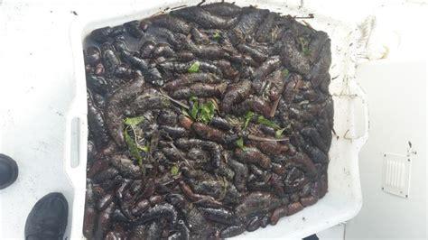 cetriolo di mare cucina costano anche 600 al kg sequestrati 120 kg di