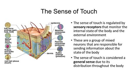 the sense of an touch ppt video online download