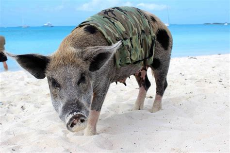 bay of pugs reenacting the bay of pigs with pigs jeremiah hulsebos spofford