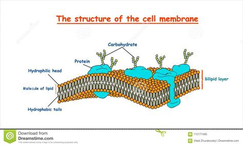 cell membrane structure  white background isolated