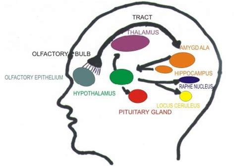 olfactory pathway diagram olfactory system brain www pixshark images