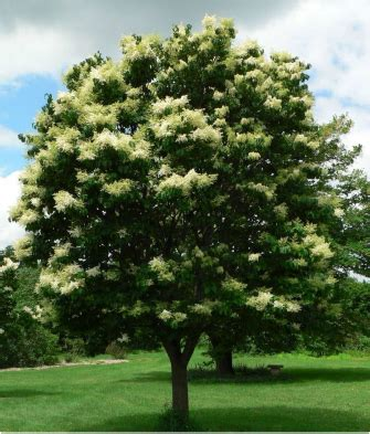 lilac tree information related keywords suggestions for japanese tree lilac
