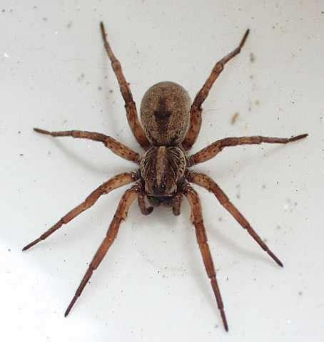 the australian wolf spider is it dangerous