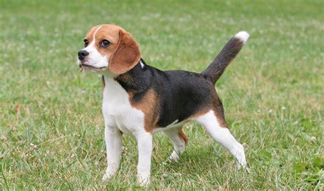 beagle breed beagle breed information