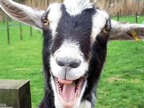 Happy Goat Meme - jigsaw puzzle smiling goat