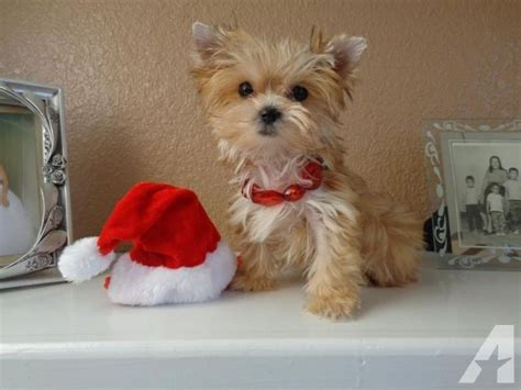 micro teacup yorkie grown micro teacup gold terrier yorkie 2lbs grown for sale in pflugerville