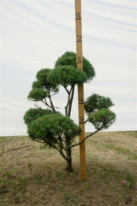 scotch pine topiary 187 scotch pine topiary tree 206 plants beautiful nursery