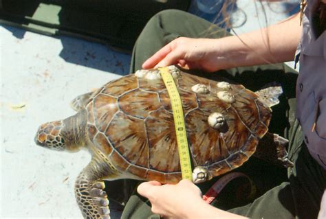 Stranding Record Netting Satellite Tracking And Stranding Of Green Sea Turtles Padre Island
