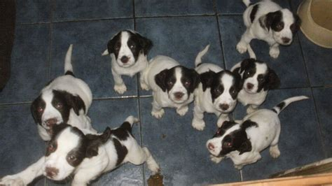 field springer spaniel puppies for sale gundogs for sale springer spaniels puppies 2 springer breeds picture