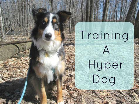 hyper puppy training a hyper dog tips and tricks for traning an australian shepherd livestock pets