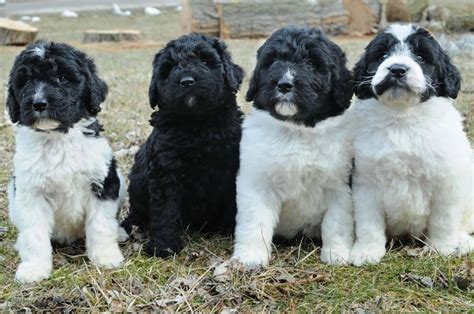 newfypoo puppies newfypoo breed 187 information pictures more