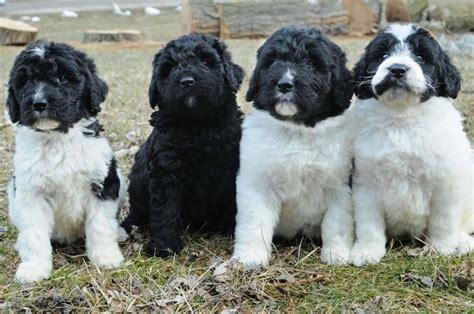 newfypoo puppies for sale ohio image gallery newfypoo breeders