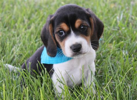 show me pictures of puppies blue beagle puppies 4k wallpapers