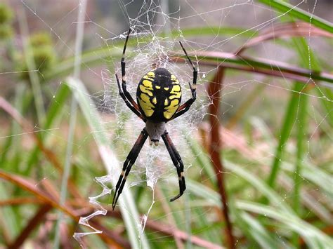 Garden Spider by Yellow Garden Spider The Of Animals