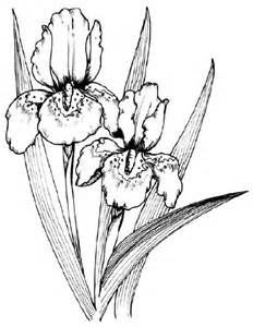 Iris Outline by Pictures How To Draw An Iris In 5 Steps