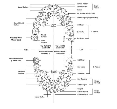 diagram of the tooth numbering system tooth numbering diagram anatomy organ