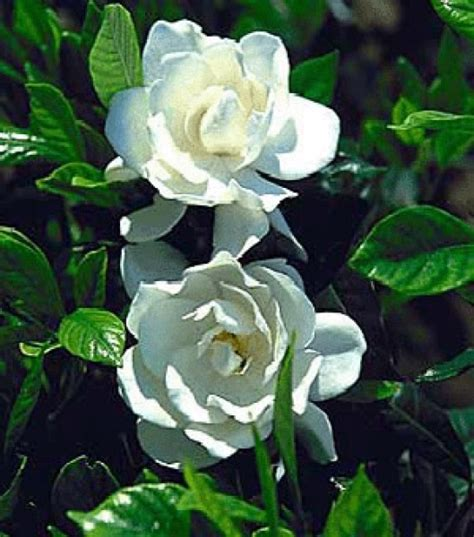Gardenia Uses 44 Best Images About Garden Gardenia On