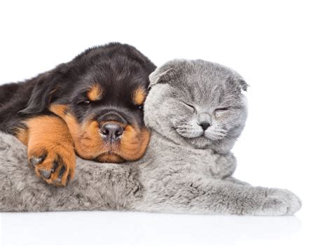 rottweiler and cats rottweiler puppy and cat 5k retina ultra hd wallpaper and background 5200x3878 id
