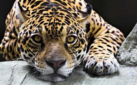 imagenes del jaguar jade jaguar informaci 243 n y caracter 237 sticas