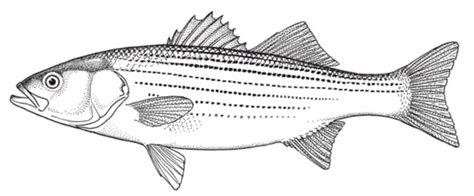 Striper White black and white striped bass pictures to pin on