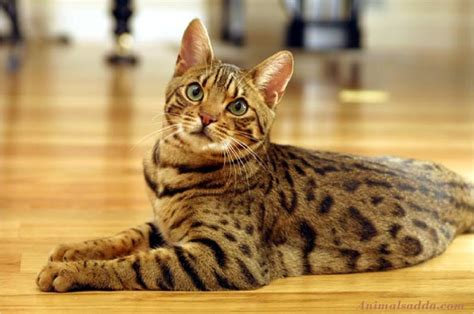 Mycybertwin Chats For You The Human Race Becomes Unneccessary by Bengal Cat Facts Pictures Information Rescue