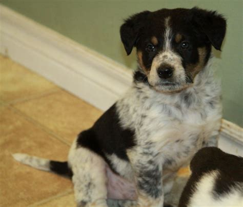 border collie blue heeler mix puppies for sale blue heeler border collie mix puppies for sale breeds picture