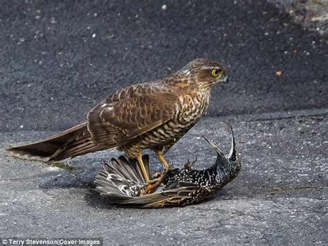 what do sprallow hawks eat picture captures moment starling comes beak to beak with sparrowhawk daily mail