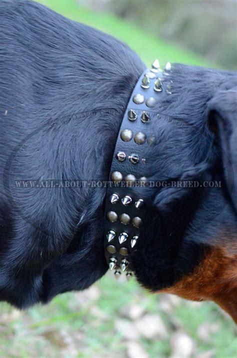 spikes dogs get leather rottweiler collar nickel spikes brass studs
