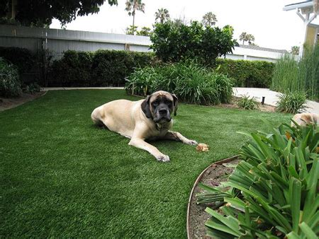 turf dogs photos artificial turf synthetic grass los angeles frass