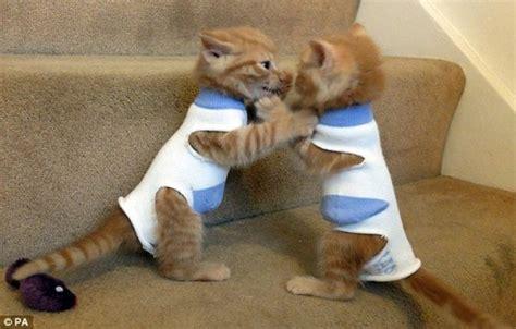 tiny tabby kittens in coats