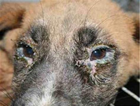 signs of distemper in puppies distemper