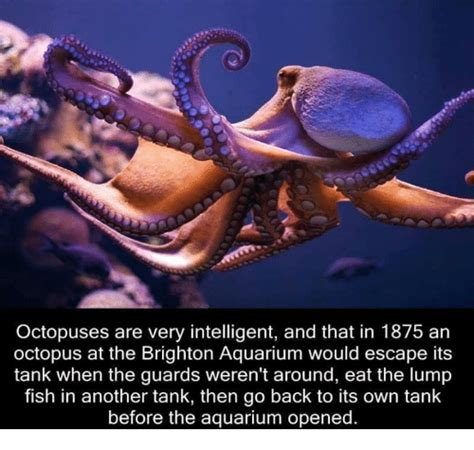 Octopus Meme - octopuses are very intelligent and that in 1875 an octopus