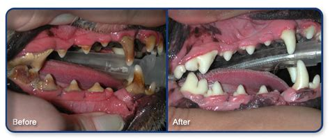 teeth cleaning for dogs pet dentistry in east st s veterinary hospital
