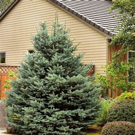 how about a living christmas tree that you can plant in