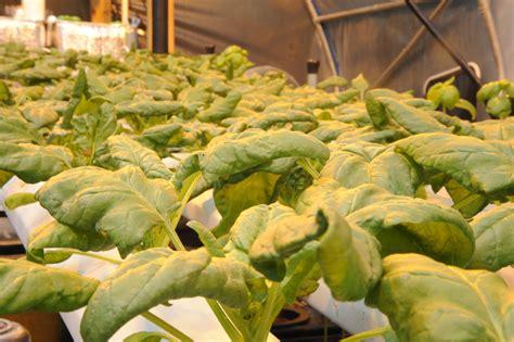 Zone Gardening - growing hydroponic spinach grozinegrozine