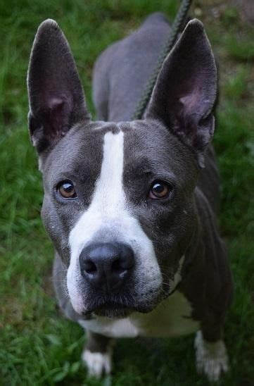 Where To Buy Pits Near Me 17 Best Images About Animals At Rescue Places On