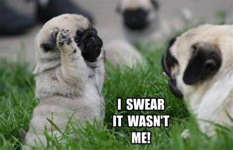 adorable pug pictures pugs archives pug meme pugs