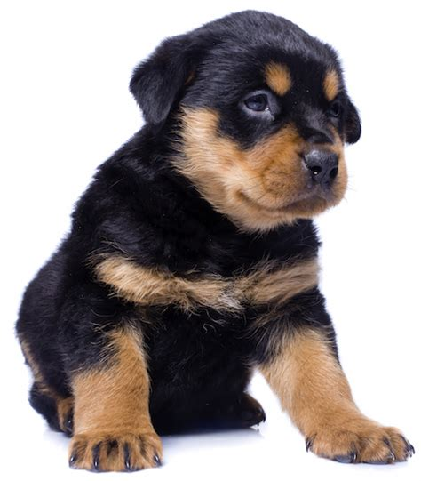 vitamins for rottweiler rottweiler health problems