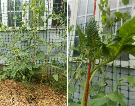 Tomato Trellis Twine tomatoes on a string trellis