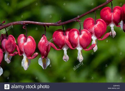 imagenes rosas sangrando las flores del coraz 243 n sangrando lrocapnos dicentra
