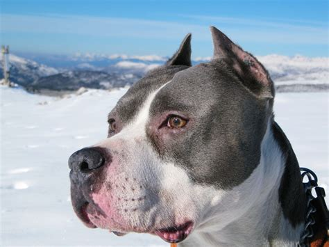 american in american staffordshire terrier hd wallpapers