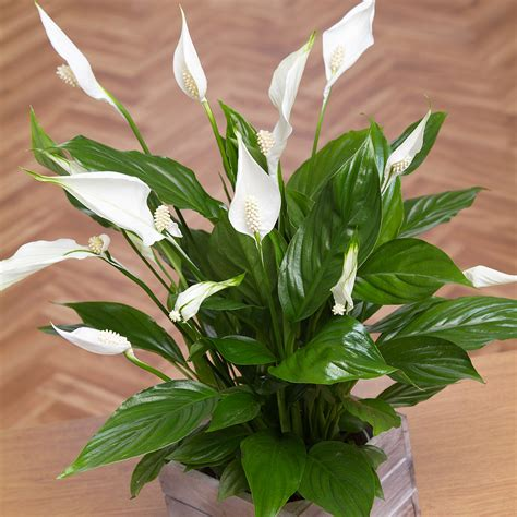 buy house plants uk peace lily in mini crate buy peace lilies plants bunches co uk