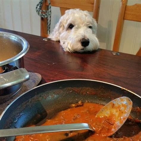 my puppy is always hungry 73 best sealyham terrier images on