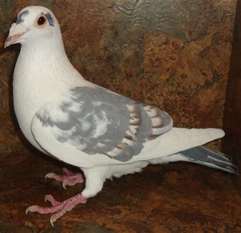 homing pigeons for sale pigeon talk