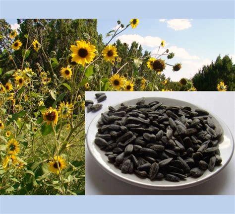 black oil sunflower seed  bird man