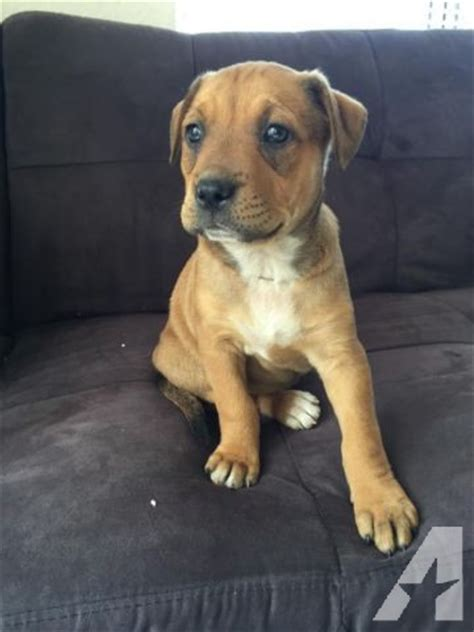 rottweiler mix pitbull puppies sale pitbull rottweiler mix puppies for sale in sacramento california classified