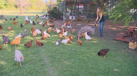 Backyard Chickens Of County Backyard Chicken Boom In Collin County Khou