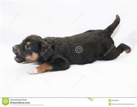 small black and brown small black puppy with brown spots barks royalty free stock images image 35528949